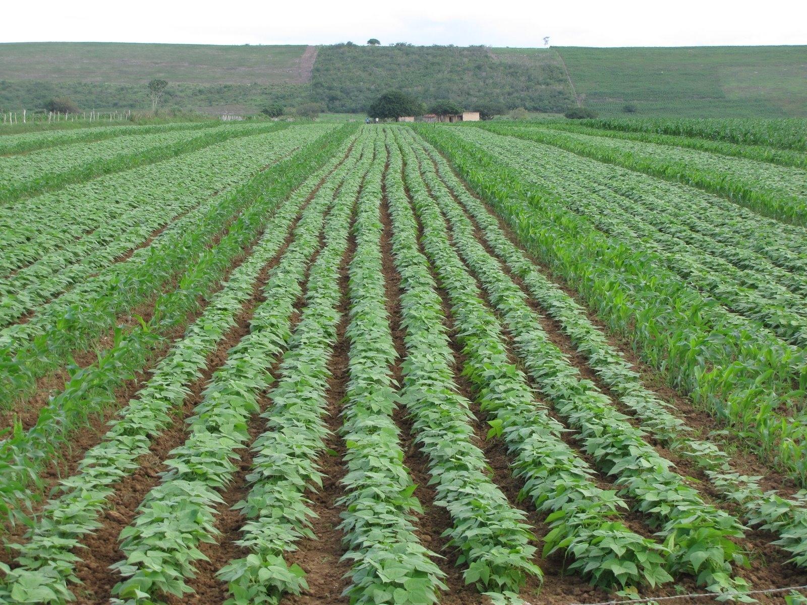Safra do Nordeste gera boa expectativa de abastecimento para o mercado do feijão carioca