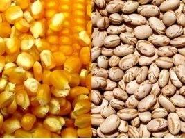 Milho e feijão têm colheita favorecida pelo clima no RS