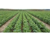 Assim como na soja, Goiás terá norma que limita calendário de plantio de feijão