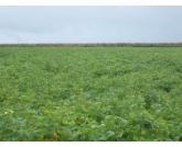 Faeg solicita alteração do calendário de plantio do feijão em Goiás