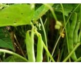 Falta de chuva prejudica 3ª safra de feijão da Bahia