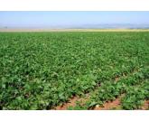 Feijão: cuidados com cultivo da safrinha evitam aumento de custo