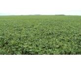 Maior controle biológico, menor uso de defensivos no plantio de Feijões