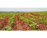Safra foi afetada pelo clima No Paraná, a primeira safra de feijão 2018/19, ocupou uma área de 162.000 hectares e a produção foi de 247.000 toneladas. Já a segunda safra registrou uma área de 230.500 hectares e a produção inicialmente prevista era de